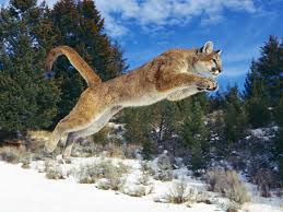 The Cougar - prepping to take flight