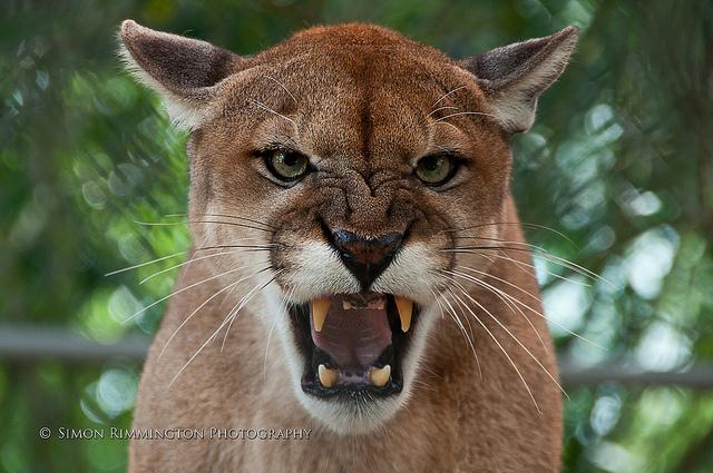 d854cd60195 Florida Panthers Species - No Longer Endangered! - SPA LLC