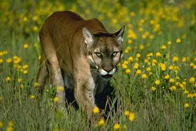 The Florida Panther in the wild